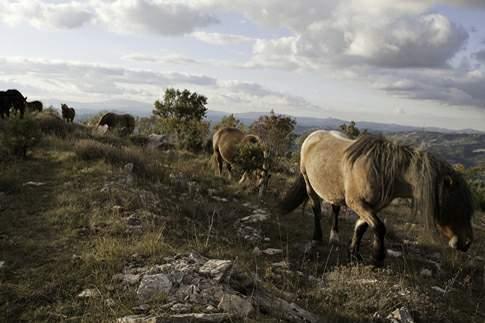 Cavalli nella Riserva del Furlo