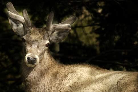 Cervo nel Parco del Gran Sasso e Monti della Laga