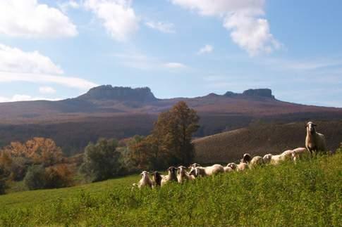 Pecore al pascolo nel Parco Sasso Simone e Simoncello