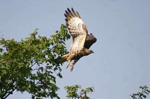 Falco Pecchiaiolo del Parco Sasso Simone e Simoncello
